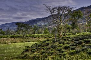Assam tea garden