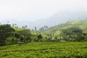 Tea Gardens at Nilgiris